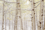 Autumn Aspens With Snow, Colorado, USA Reproduction photographique par  Panoramic Images