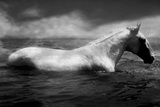 White Horse Swimming Wall Mural by Tim Lynch
