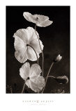 Iceland Poppies I Prints by Sondra Wampler