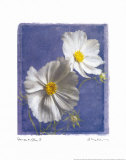Cosmos on Blue II Prints by Amy Melious