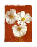 White Cosmos I Prints by Amy Melious