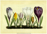 Crocus I Posters