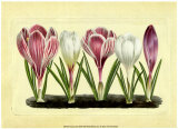Crocus II Prints