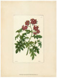 Red Curtis Botanical III - Poster