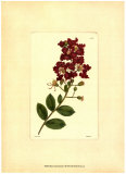 Red Curtis Botanical II Plakater