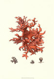 Coral rojo III Láminas