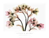 Hellebore II Posters by Steven N. Meyers