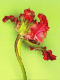 Parrot Tulip Posters by C&#233;dric Porchez