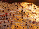 El estanque de loto Lámina por Bruno Baumann