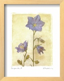 Campanula II Posters by Amy Melious
