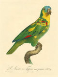 Barraband Parrot No. 89 Posters by Jacques Barraband