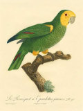 Barraband Parrot No. 98 Art by Jacques Barraband