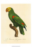 Barraband Parrot No. 86 Posters by Jacques Barraband