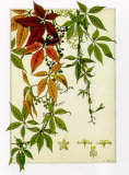 Hedera Print by M. P. Verneuil