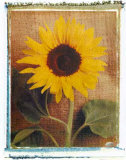 Sunflowers Prints by Vincenzo Ferrato