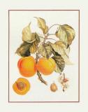 Abricot Peche Prints