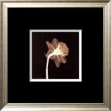 Veiled Blossom (sepia) Posters
