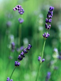 Lavender Flower Spikes Photographic Print by Guy Cali