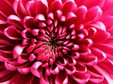 Pink Chrysanthemum Photographic Print by Robert Marien