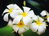Frangipani Flowers Photographic Print