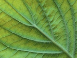 Veins of a Flowering Dogwood Leaf Photographic Print by Robert Marien
