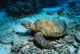 Green Turtle on Sea Floor Fotografisk tryk af Robert Marien