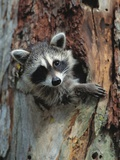 Raccoon Inside Hollow Log Fotografie-Druck von Jeff Vanuga