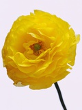 Blooming Yellow Ranunculus Photographic Print