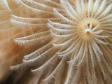 White Christmas Tree Worm Photographic Print by Robert Marien