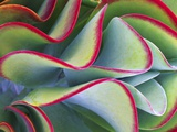 Red-Tipped Leaves of Kalanchoe Impresso fotogrfica por Robert Marien