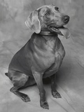 Panting Weimaraner Sitting Obediently Photographic Print by Lawrence Manning