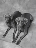 Two Panting Weimaraners Lying Side by Side Photographic Print by Lawrence Manning