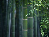 Green Bamboo Photographic Print