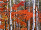 White Birch and Maple Trees in October Fotografie-Druck