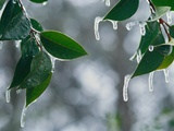 Ice Hanging from Leaves Photographic Print by Danilo Calilung