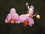 Phalenopsis Carmelas Gem Photographic Print by Robert Marien
