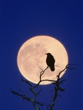 Full Moon over Raven in Tree Photographic Print by Aaron Horowitz