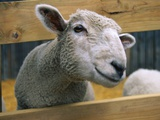 Sheep Poking Head Through Fence Photographic Print by Chase Swift