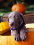 Weimaraner Puppy Inside Pumpkin Photographic Print by Guy Cali