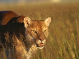Mountain Lion Roaming in Field Fotografie-Druck von Jeff Vanuga