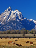 Horses Grazing near Teton Range Photographic Print