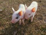 Piglets Standing Together Photographic Print