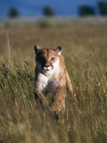 Mountain Lion Running in Field Fotografie-Druck von Jeff Vanuga