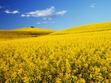 Canola Field in Bloom Photographic Print by Darrell Gulin