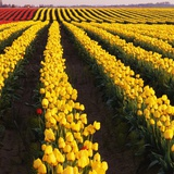 Rows of Yellow Tulips Photographic Print by Darrell Gulin