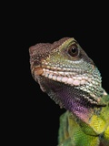 Green Water Dragon Photographic Print by Frank Burek
