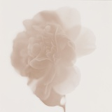 White Camellia in Bloom Photographic Print by Brian Yarvin