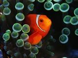 Spine-Cheek Anemonefish and Sea Anemone Photographic Print by Frank Burek