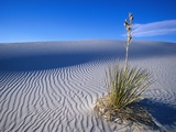 Soaptree Yucca Plant on Sand Dune Fotografie-Druck von L. Clarke