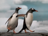 Two Gentoo Penguins Photographic Print by Darrell Gulin